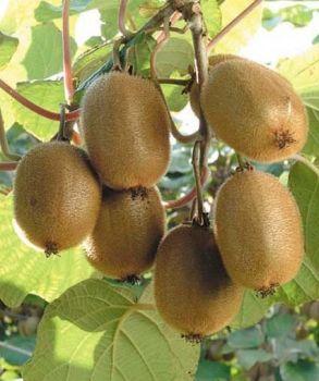 Vendita piantine kiwi online prezzo ed offerte for Piante da frutto kiwi
