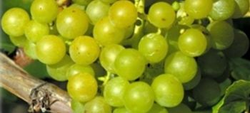 Uva sultanina mini guida alla coltivazione casalinga - Coltivare uva da tavola in vaso ...