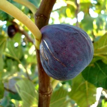 Vendita piante da frutto online prezzo ed offerte for Piante da frutto online