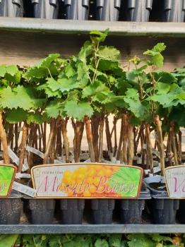 Coltivare piante di vite in vaso - Coltivare uva da tavola in vaso ...