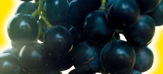 Vendita piantine di muskat bleu online - Coltivare uva da tavola in vaso ...