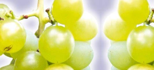 Vendita piantine di uva fragola bianca online for Uva fragola in vaso