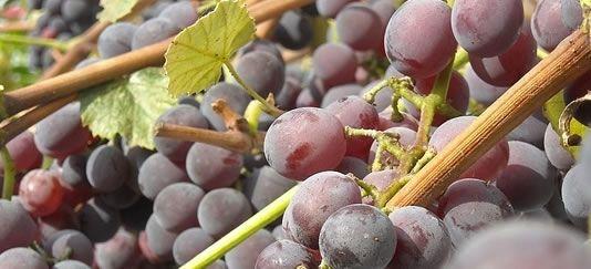 Vendita piantine di uva fragola nera online for Uva fragola in vaso