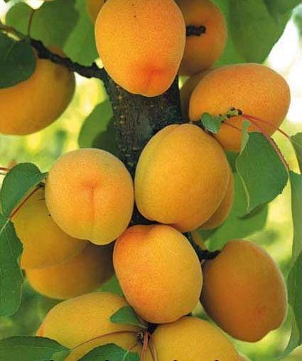Vendita piantine di albicocca arancio intenso tardiva online for Piante nane da frutto