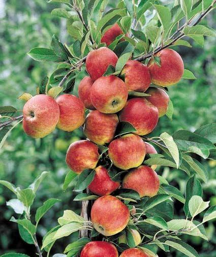 Piante Di Melo : Vendita piantine di melo stark delicious online