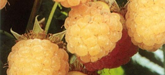 Vendita piantine di lampone giallo vaso 3lt online for Vendita piante di lamponi