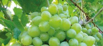 5 buoni motivi per coltivare le viti da tavola ecologiche - Coltivare uva da tavola in vaso ...