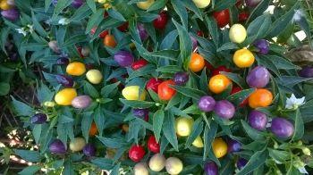 Peperoncino ornamentale multicolor