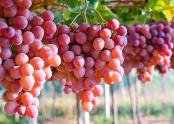 Coltivare il ribes rosso in vaso bellezza e salute sul balcone - Coltivare uva da tavola in vaso ...