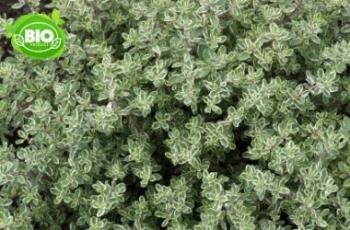 1 PIANTA DI TIMO SILVER QUEEN IN VASO 14CM aromatiche orto giardino